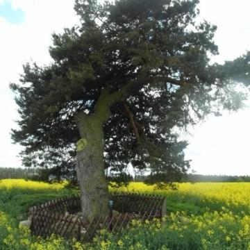 pomnik przyrody w postaci starego grubego drzewa zabezpieczonego drewnianym płotkiem